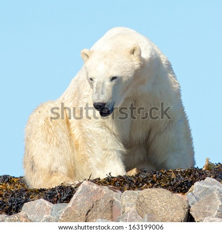 Lazy Canadian Polar Bear wallowing, stretching and sleeping on some rocks next to the arctic tundra of the Hudson Bay near Churchill, Manitoba in summer - stock photo