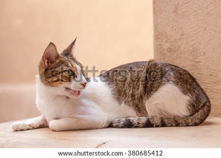 Lazy cat in the souk of Nizwa, Sultanate of Oman, Middle East