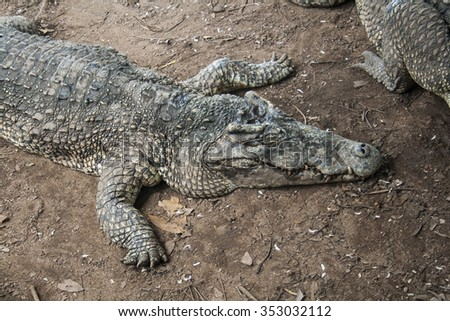 Lazy Crocodile on a Farm in Cuba. - stock photo