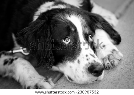 Lazy Dog - This is a black and white image of a tired old dog laying down. - stock photo
