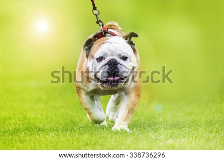 Lazy english bulldog on a leash trots over the meadow - stock photo