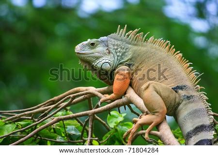 Lazy iguana lay on the tree - stock photo