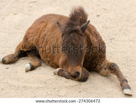 Lazy little pony lying on the sand to rest, a kind of horse - stock photo