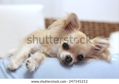 Lazy longhair chihuahua relaxing on a sofa