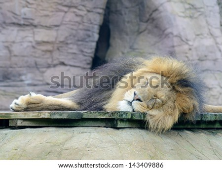 Lazy male lion is sleeping in daytime - stock photo