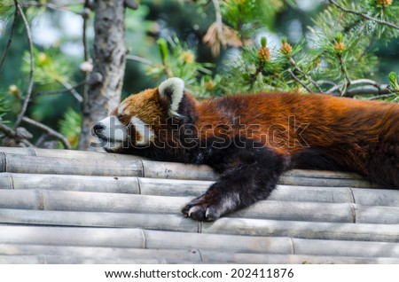 Lazy red panda sleeping on a bamboo roof - stock photo