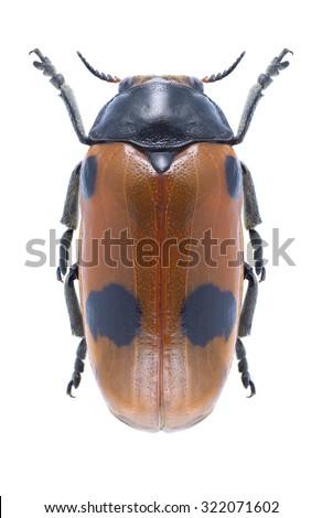 Leaf beetle Clytra quadripunctata on a white background - stock photo