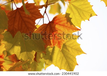 Leaf,bright autumn leaves, close up - stock photo