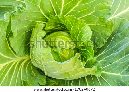 Leaf cabbage vegetable in a field