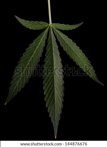 Leaf. Cannabis is a genus of flowering plants. - stock photo