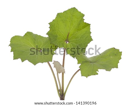 leaf coltsfoot (Tussilago farfara) on white background - stock photo