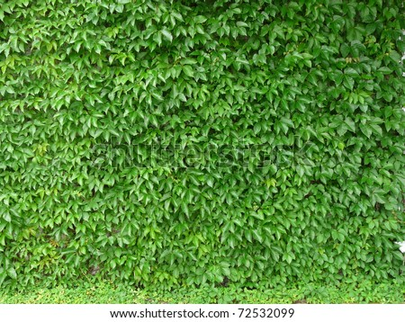 Leaf-covered wall for background - stock photo