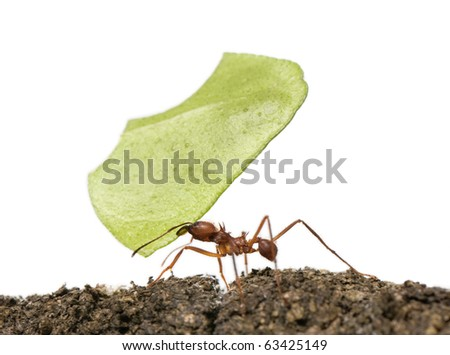 Leaf-cutter ant, Acromyrmex octospinosus, carrying leaf in front of white background - stock photo