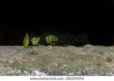 Leaf cutter ants carrying a leaf - stock photo