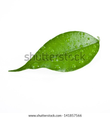 leaf ficus  isolated on white background