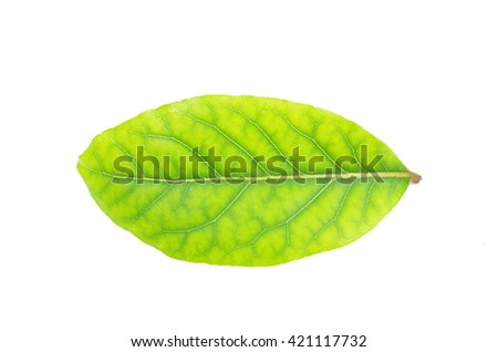 leaf herb laurel on white background - stock photo