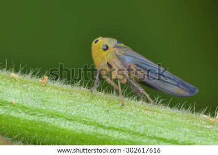 Leaf hopper resting on the stick - stock photo