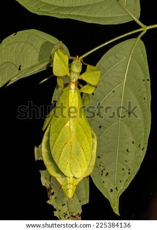 Leaf insect (Phyllium), Cat Tien National Park, Vietnam. - stock photo