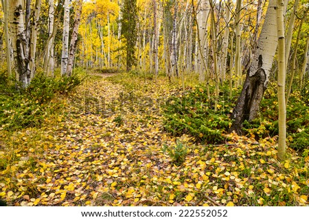 leaf-littered backwoods road in an aspen forest in colorado in autumn - stock photo