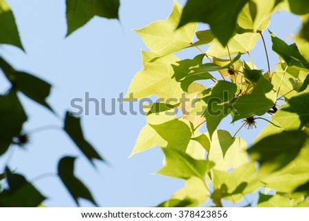 leaf of a maple tree against blue sky