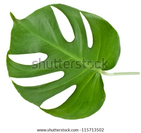 Leaf of a monstera isolated on white - stock photo