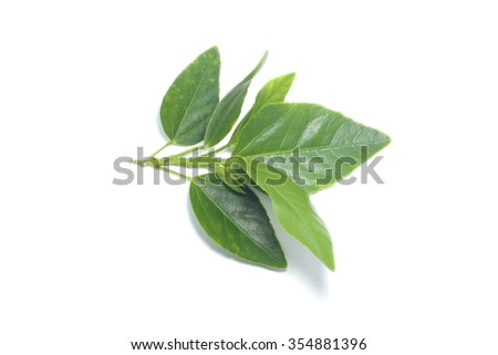 leaf of blooming hibiscus flower isolate , leaf on white backgrounds - stock photo