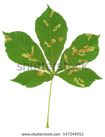 Leaf of chestnut tree attacked by horse-chestnut leaf miner, Cameraria ohridella - stock photo