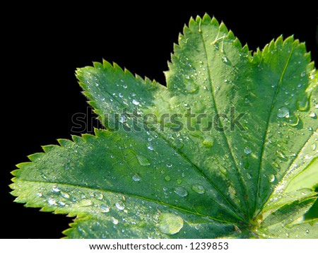 Leaf of dew-cup on black background - stock photo