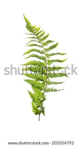 Leaf of fern, isolated on white background - stock photo