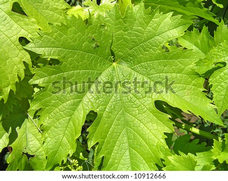 Leaf of grapes on the sun. A close up. - stock photo