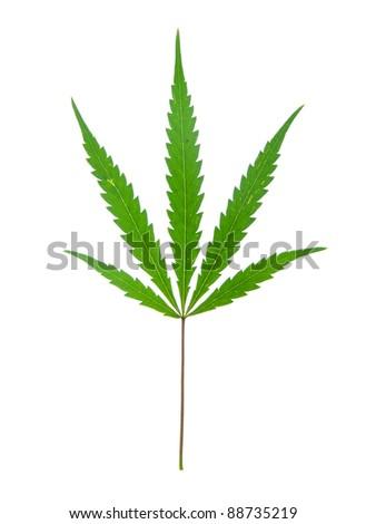 leaf of hemp isolated on white - stock photo