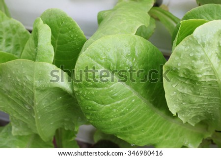 leaf of hydroponic vegetable in the farm with a water drop - stock photo
