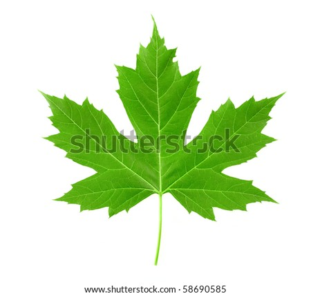 leaf of maple - stock photo