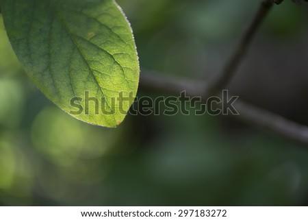 Leaf of medlar on blurred background - stock photo