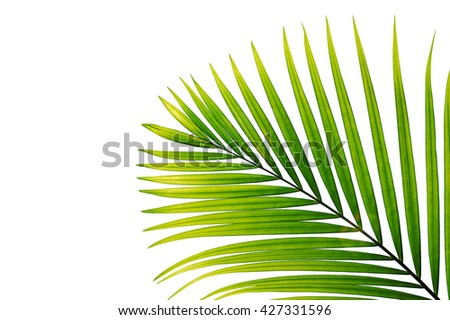 Leaf of palm tree isolated on white background