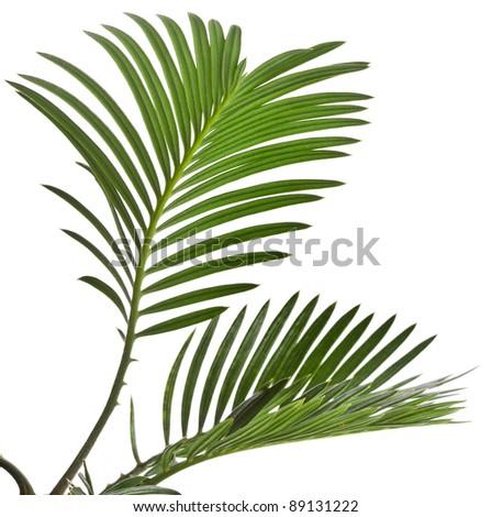 leaf of palm tree on white background - stock photo