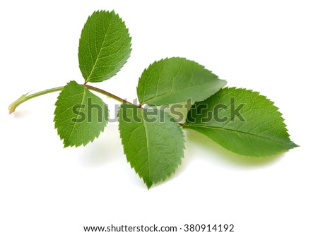 leaf of rose bud, branch - stock photo