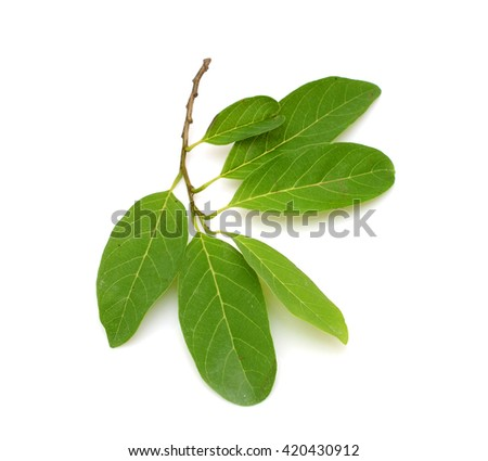 leaf of Sugar Apple isolated on white background