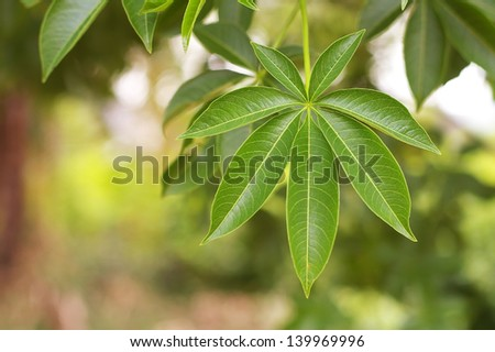 leaf of the baobab tree in the green garden - stock photo