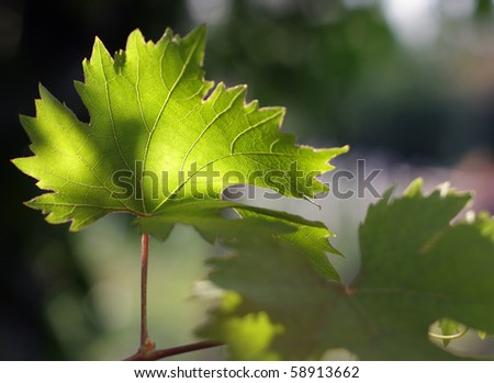 Leaf of the vine (under sunlight). Shallow DOF. - stock photo