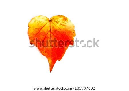 leaf of Virginia creeper in autumn - stock photo