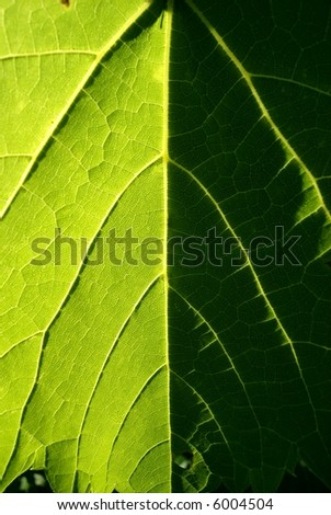 leaf on a grapevine - stock photo