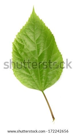 leaf on a white background