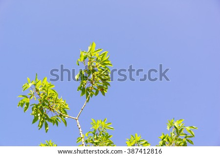 Leaf on tree with blue sky background:Close up select focus with shallow depth of field:ideal use for background.  - stock photo
