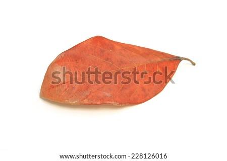 Leaf on white background - stock photo