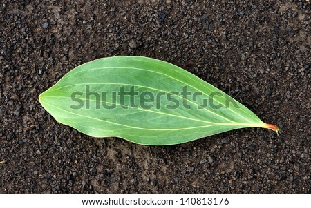 Leaf plants for industrial applications. (Acacia mangium Willd.) - stock photo