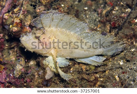 Leaf scorpionfish sitting in sand on coral reef