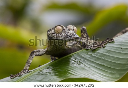 Leaf-tailed gecko is sitting on a large green leaf. unusual perspective. Madagascar. An excellent illustration. - stock photo