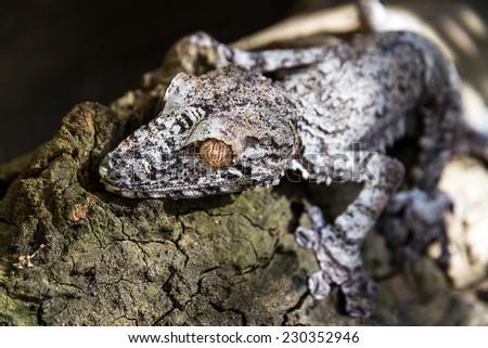 Leaf-tailed Gecko, presumably Uroplatus fimbriatus, in Madagascar - stock photo