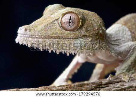 Leaf-tailed gecko / Uroplatus sikorae - stock photo